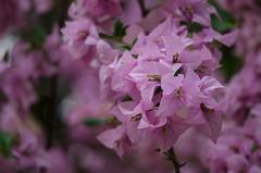 The Lavender Beauty (anu150213) Tags: flowers flower nature closeup nikon lavender bougainvillea bloom d5100 nikond5100 anu150213 anurg