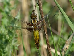 Broad-Bodied Chaser (ukstormchaser (A.k.a The Bug Whisperer)) Tags: uk morning sunlight macro animal animals insect spring pond dragonflies wildlife may insects milton keynes chaser basking chasers broadbodied