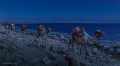 Convoy (Ahmed Dardig) Tags: travel blue sea animals landscape photography dahab redsea egypt explore camels convoy explored southsinai rasabugalum