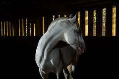Acting Shy (jeff_a_goldberg) Tags: horse us illinois unitedstates equestrian lipizzan oldmillcreek lipizzans lipizzanstallion thetempellippzans