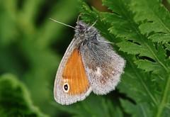 Schmetterling (Hugo von Schreck) Tags: macro butterfly insect falter makro insekt schmetterling maniolajurtina greatphotographers groseochsenauge onlythebestofnature tamron28300mmf3563divcpzda010 canoneos5dsr hugovonschreck
