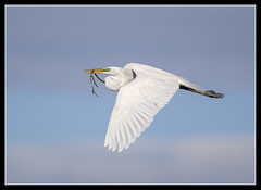 Air Delivery... (DTT67) Tags: wild bird nature canon wildlife pa nationalgeographic bif egrets greatwhiteegret 14xiii 500mmii 1dxmkii