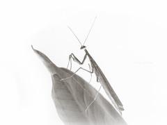 Mantis religiosa negativa. (ngel Lpez G.) Tags: macro blanco closeup insect bichos edition fondo lightroom insecto virado macrofotografa