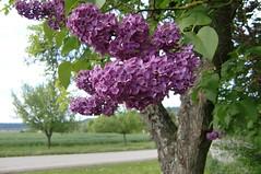 Der letzte Flieder (mellane.karin) Tags: lilac lilas flieder