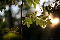 IMG_1373s21FAD (Foto_A_Day) Tags: vintage lens bokeh foliage 55mm exa exakta steinheil f19 bokehlicious quinon
