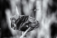 Final Approach... (Ody on the mount) Tags: bw monochrome de deutschland pflanzen sw insekten tbingen experimente flug badenwrttemberg fototour nahaufnahmen anlsse blumenundpflanzen