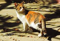 lilu (gabi amc) Tags: pets love cat gato otoo animales naranja mascotas lovecats