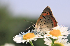 American Copper (Jen_Vee) Tags: summer orange nature butterflies insects spotted fleabane