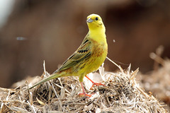 Yellowhammer (juvenile) (NickWakeling) Tags: nature birds wildlife norfolk norwich yellowhammer oldcatton canon60d sigma150600mmf563dgoshsmcontemporary