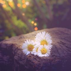 Summer bokeh (RoCafe) Tags: flowers summer nature daisies garden bokeh nikond600 nikkormicro105f28