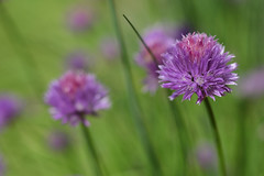 Chive flowers in a garden (TouTouke - Nightfox) Tags: summer food plant flower macro green cooking nature beautiful field closeup ball garden botanical purple blossom bokeh gardening space puff round bloom onion copyspace botany copy herb herbal chive blooming ingredient herbalism