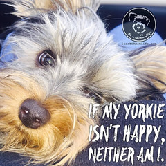 Happy Yorkie, happy life. (itsayorkielife) Tags: yorkiememe yorkie yorkshireterrier quote