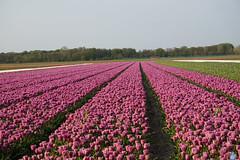 Perspective ~ Perspectief (Swaentje5) Tags: holland netherlands tulips nederland bulbs bloemen bollen tulipfield tulpen lisse tulpenveld