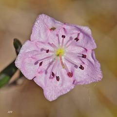 Fleur du Kalmia  feuilles d'Andromde / Flower of the Bog-laurel (alain.maire) Tags: canada flower nature quebec ericaceae bog kalmiapolifolia tourbire boglaurel swamplaurel kalmiafeuillesdandromde