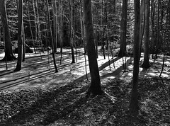 IMG_20160622_103003-01 (hederahelix79) Tags: wood trees blackandwhite sun nature monochrome shadows moor bume