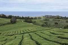 Ch (Balthus Van Tassel) Tags: tea plantation azores ch gorreana green fields atlantic landscape outdoor sea