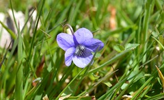 DSC_2671 Violet Wild flower on the Meadow about the size of my Thumb nail Thank you to sergio for the ID (John Carson Essex R.I.P. John and thank you for be) Tags: thegalaxy supersix rainbowofnature thegalaxystars