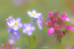 painting photo (kiareimages1) Tags: flowers flores macro colors fleurs couleurs colores coloring fiori colori macroflowers fleurssauvages macrophotographie couleurspastel fioriselvaggi colorspastel kiareimaginations fondpastel