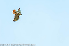 RedTailHawk battle 15_DSC5612.jpg (orig_lowolf) Tags: usa home oregon nikon flickr flight crow attacking redtailedhawk lakeoswego d300s sigma150500mmf563afapodgoshsmtelephotozoom