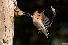 Hoopoe, Wiedehopf, Upupa epops @ HaYarkon, Tel Aviv, Israel, 2016, urban nature (Jan Rillich) Tags: park urban sun nature beautiful beauty animal fauna digital photography eos israel photo telaviv flora foto fotografie image feeding jan wildlife picture free sunny urbannature guest upupaepops hoopoe yarkon 2016 animalphotography fütterung hayarkon wiedehopf bruthöhle nahalhayarkon janrillich rillich breedingburrow
