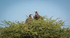 IMG_2851.jpg (Markus Gro) Tags: serengeti geier tansania