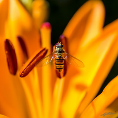 Hoverfly having a lunch on a slimstem lily (Steve P Photography) Tags: orange macro canon insect colours lily great l symmetrical colourful makro farbig function lilie bunt hoverfly lense 6d f7 schwebfliege 2470mm objektiv symmetrisch asiatische slimstem