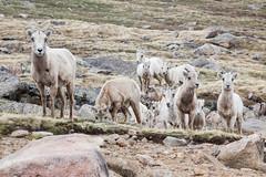 Sheep (mhawkins) Tags: mtevans