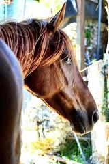 Quai des Brumes (morganebocquillon) Tags: sf horses horse pet pets cheval animaux chevaux jument sellefrancais alezan