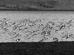 B&W (Ele_c) Tags: bird birds iceland cold winter sea sand bw nature fauna animals