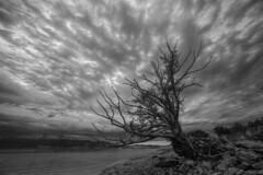 Le survivant (Patrice StG) Tags: blackandwhite tree rock clouds river noiretblanc gimp nb willow shore qubec stlawrence stlaurent nuages arbre hdr rochers fleuve rivage sigma1224 saule tonemapping d700 mantiuk06 luminancehdr