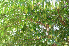 Japanese hornbeam (young fruits) (qooh88) Tags: tree fruit leaf   talltree greem  betulaceae carpinus youngfruit diciduous  japanesehornbeam       carpinusjaponica