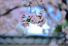 (DSC_2371) (nans0410(busy)) Tags: macro japan cherry kyoto blossom bokeh   sakura