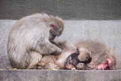 2016-07-06-10h46m10.BL7R4943 (A.J. Haverkamp) Tags: canonef100400mmf4556lisiiusmlens amsterdam zoo dierentuin httpwwwartisnl artis thenetherlands japansemakaak japanesemacaque dob09062016 pobamsterdamthenetherlands