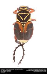 Delta flower scarab (Scarabaeidae, Trigonopeltastes delta) (insectsunlocked) Tags: coleoptera scarabaeidae trigonopeltastes trigonopeltastesdelta deltaflowerscarab cetoniini tdelta