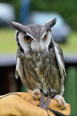 Owl at Fir Tree Falconry