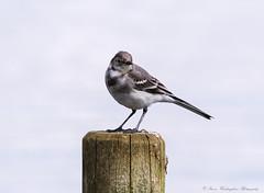 Juvenile Pied Wagtail (steven waddingham) Tags: wild bird song rutland
