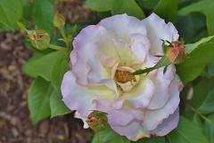 Pale rose  - Chicago Botanic Garden (stevelamb007) Tags: flower nature beautiful rose garden illinois nikon pale glencoe chicagobotanicgarden 18200mmvr stevelamb flickriver d7200