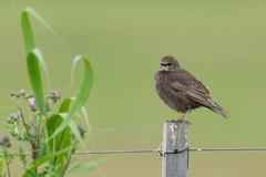 starling (Oetmeij_hobbyfotografie) Tags: bird birdphotography commonblackbird merel nature turdusmerula vogelfotografie zangvogel