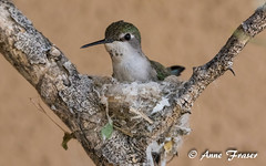 Hummingbird nest (Anne Marie Fraser) Tags: cute beautiful hummingbird nest