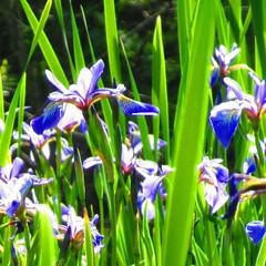 wild iris in the morning sun (chris bliss6) Tags: michigan upperpeninsula wildflower wetland siberianiris