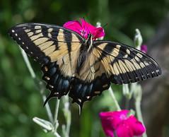 Eastern Tiger Swallowtail (mishko2007) Tags: 105mmf28 raleighnc easterntigerswallowtail papilioglaucus
