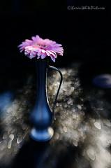 the falling of the rain (sure2talk) Tags: gerbera daisy pink rain raindrops blur lensbaby lensbabycomposerpro sweet50optic nikond7000 shallowdof bokeh