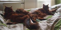 Napping on the duvet. Happy Caturday. Explored 25.06.2016, #429 (Finn Frode (DK)) Tags: pet cats animal cat denmark bed rags indoor olympus fabric som rest somali somalicat duvet caithlin happycaturday omdem5 dusharatattersandrags dusharacathalcaithlin