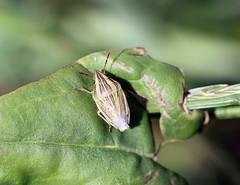 Bishop's Mitre Shieldbug (Aelia acuminata) (RiverCrouchWalker) Tags: aeliaacuminata pentatomidae bishopsmitreshieldbug shieldbug insect invertebrate leaf fenncreek southwoodhamferrers essex 2016 summer june