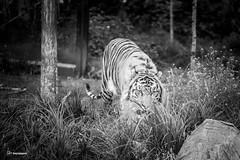 London Zoo (fat.photography2015) Tags: trees wild blackandwhite white black tree london nature animal animals zoo feline tiger monocrome