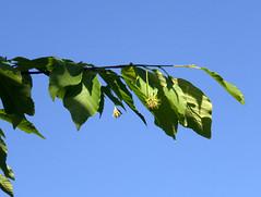 Fagus engleriana Seemen ex Diels 1900 (FAGACEAE) (helicongus) Tags: spain fagus fagaceae fagusengleriana jardnbotnicodeiturraran