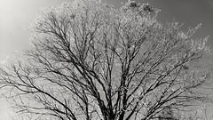 live and let die (Rodrigo Alceu Dispor) Tags: bw tree die live let