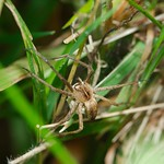 wolf spider and egg sack