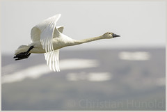 tundra swan (Christian Hunold) Tags: bird alaska nome tundraswan sewardpeninsula christianhunold
