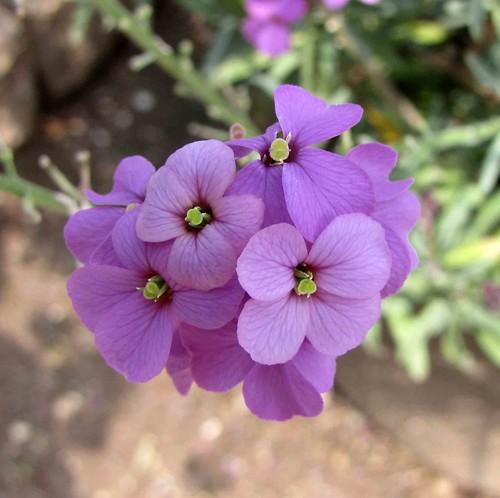 亞麻葉糖芥 Erysimum linifolium Bowles' Mauve  [維也納大學植物園  Vienna University Botanical Garden]